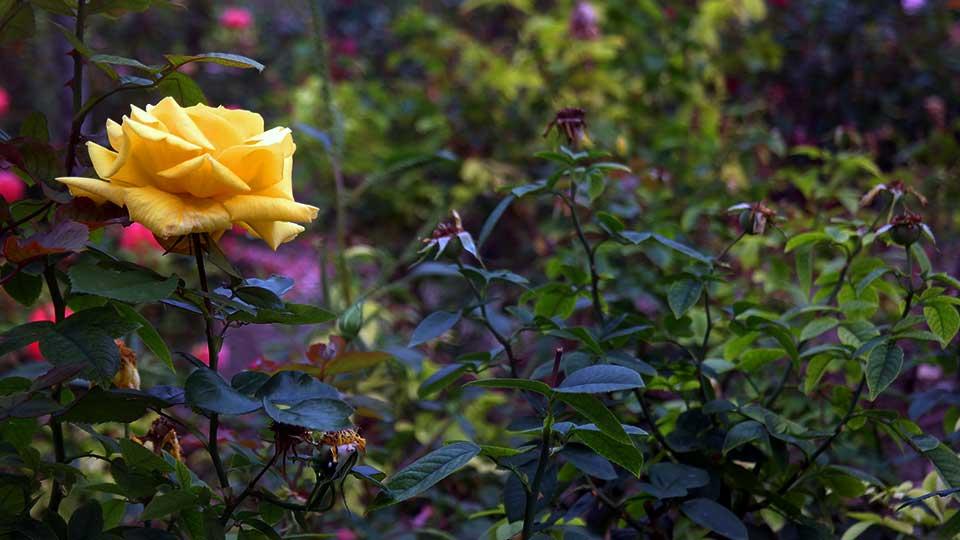Rosas de otoño en el O'Donell
