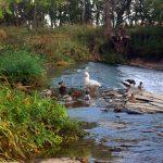 Amanecer de una familia de patos en el Henares