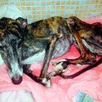 Wilma es una de las perras 'maltratadas' en Alcalá