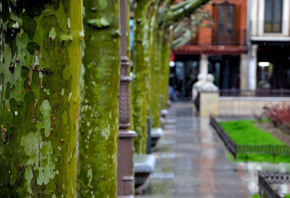 Plátanos verdes en la Plaza de Cervantes un dia de lluvia