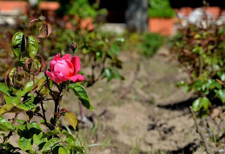 La primera rosa en la Pista Florida del Paque O´Donnell