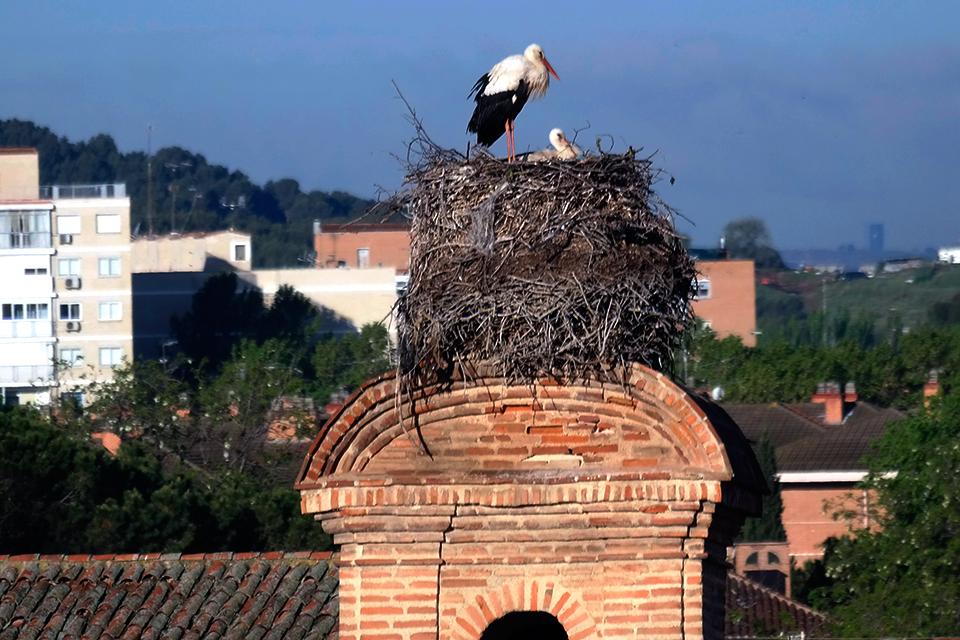 Madre cigüeña en Alcalá de Henares