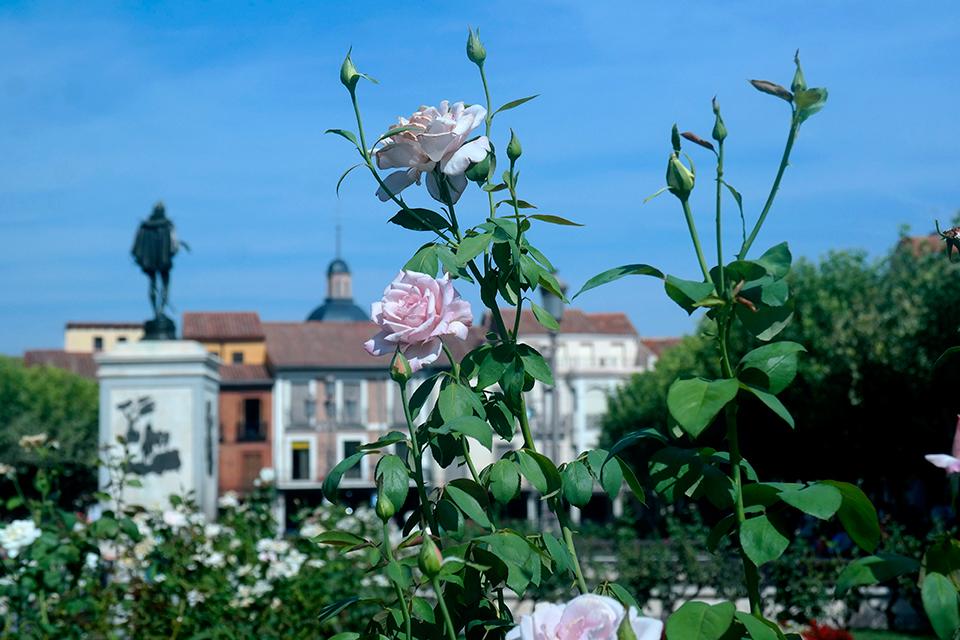 Las rosas de septiembre en Alcalá de Henares