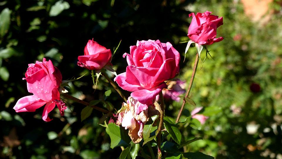 Rosas de otoño en el O´Donnell