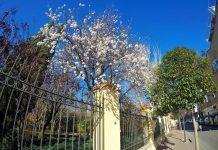 La flor del almendro ya anuncia la primavera en la Quinta de Cervantes