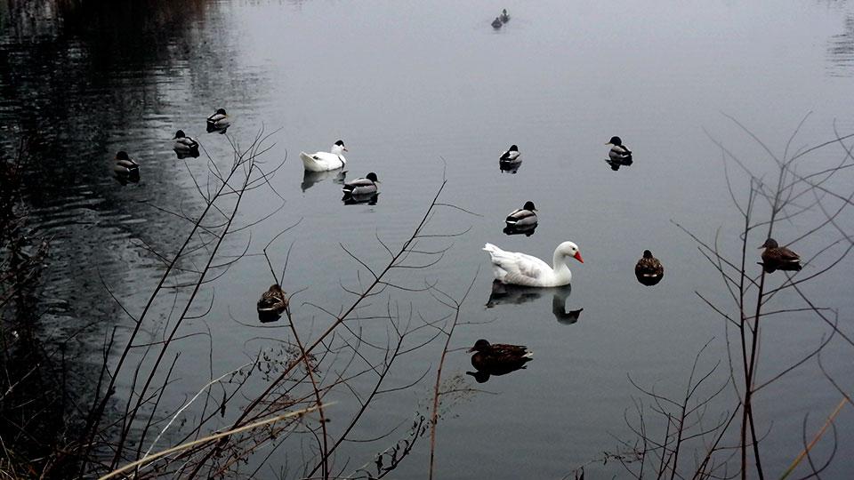 Familias de patos en el Henares