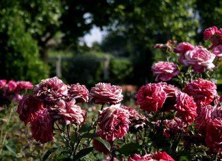Rosaleda en el Parque O´Donnell